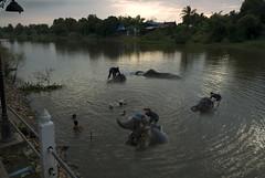 5089 Cohorts' evening chores-- Ayuthaya ,Thailand (ngchongkin) Tags: thailand niceshot harmony elephants shiningstar supreme musictomyeyes favoritephotos zafiro thegalaxy beautifulshot flickrsmileys anythingyoulike peaceaward colorphotoaward avpa agradephoto flickraward flickrbronzeaward heartawards flickrsspecial eperkeaward dazzlingshots flickrestrellas arealgem highqualityimages spiritofphotography 469photographer photographersgonewild artofimages angelawards visionaryartsgallery contactaward ablackrose bestpeopleschoice mygearandme poppyawards fireworksofphotos goldstarawardlevel1 2heartsaward highqualityimagequaifiedmembersonly chariotsofartiststhegoldgroup
