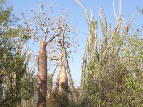 Bosque espinoso semiárido