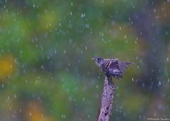 Eastern Wood-Pewee (~ Michaela Sagatova ~) Tags: bird nature rain dundas flycatcher easternwoodpewee contopusvirens dvca michaelasagatova