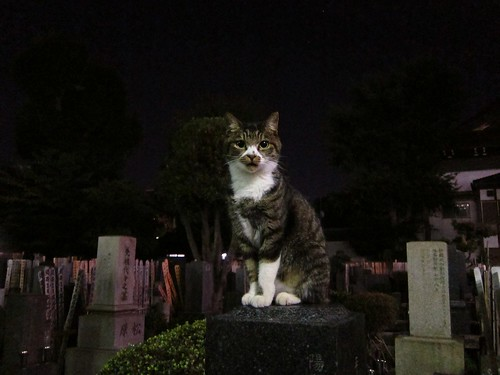midnight cat in the cemetery