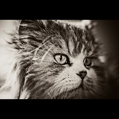 Tales (Felps!) Tags: pet sepia cat photoshop 50mm feline tales kitty ps pb gato saturation felino xs lovely 18 effect pelo lightroom canoneosrebel rebelxs 5omm18 1000d