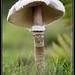 Magic mushroom 2