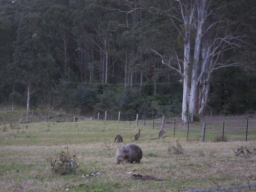 Wombats and Kangas at Bunders
