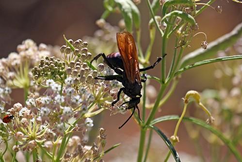 tarantula hawk, dave harper, oakley