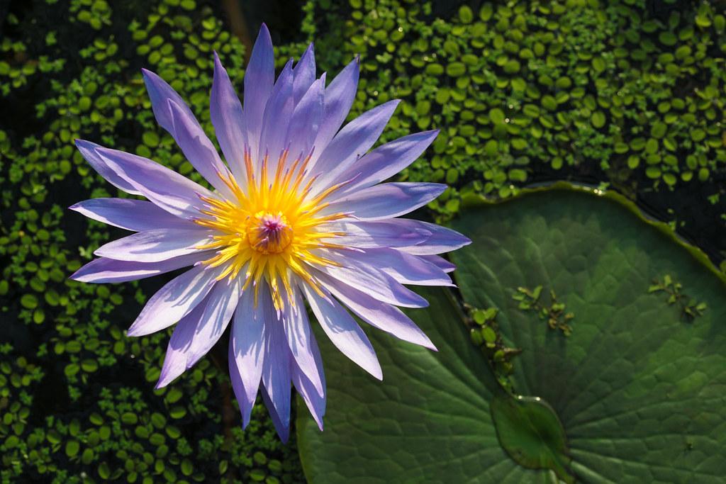 """Water Lily """"Excalibar"""" in Kobe Kachoen"""