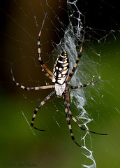 Black-and-Yellow Argiope (Argiope aurantia) (Paul Hueber) Tags: usa nature animal america canon orlando unitedstates florida wildlife arachnid handheld 75300 seminolecounty altamontesprings centralflorida blackandyellowargiope argiopeaurantia writingspider lakelotuspark