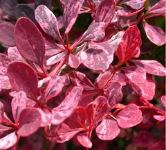 Barberry-Rosy-Glow