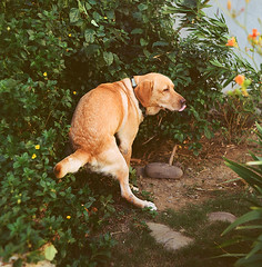 Orange (barryaigne) Tags: dog funny 120film   flexaretviiautomat meoptabelar80mmf35