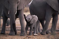 [フリー画像] 動物, 哺乳類, 象・ゾウ, 家族・親子(動物), 201105240700