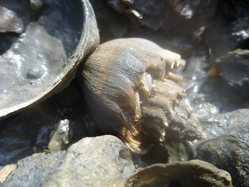 Crown Conch on an oyster reef