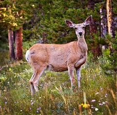 Bambi_MG_2494 (1) (susannekremer) Tags: usa mountains barn landscape farm wildlife berge getty wyoming bison wildwest grandteton grandtetonnationalpark bestphoto
