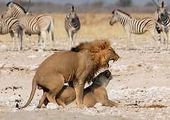 Lion Love, Etosha