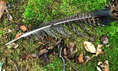wild turkey feather