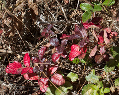 Poison Oak Photo