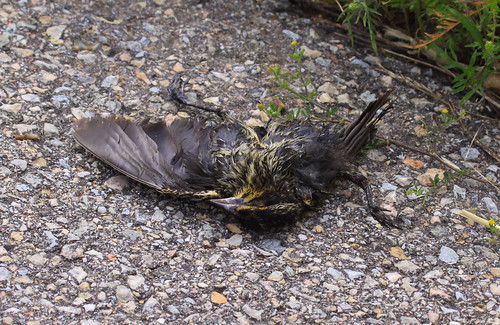 Road-killed Red-winged Blackbird