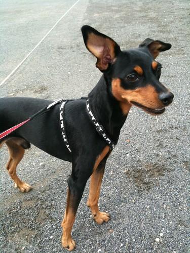 散歩なう。今日は散歩しやすいですね。黒犬もきりりと爽やかに。
