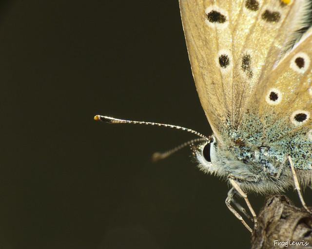 Le Bel-Argus ( Lysandra bellargus ) 4991043832_ff208caff3_z