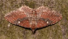 the gem (Orthonama obstipata) female (corvid01) Tags: insect moth thegem orthonamaobstipata lepidoptera geometroidea geometridae larentiinae xanthorhoini 7414