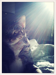 Project 365: Day 93 (mylifeeclectic) Tags: light sun sunshine cat tabby flare rays sunflare bestofcats boc1010