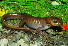 Ambystoma gracile - Northwestern Salamander (Mike Graziano) Tags: seattle county brown washington king salamander northwestern ambystomatidae ambystoma gracile