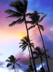 Tropic Breeze, Kauai Style (moonjazz) Tags: travel pink blue sunset vacation sky plants color colour weather night botanical skinny hawaii evening warm pretty purple bend wind coconut postcard dream icon blow palmtree trunk breeze fronds moisture humid balmy mild