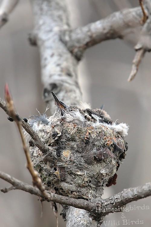 Anna's Hummingbird nest 0209101