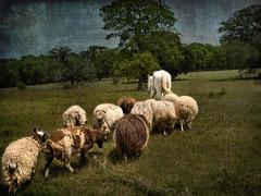follow me (Betty Gillis) Tags: painting sheep tulsa whitehorse followme karakuls olympuse520