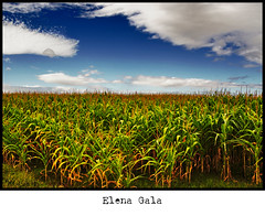 "Maiz ""Gigante Verde"" XDD (Viudo) Tags: blue camp vacation espaa naturaleza sun verde green sol nature azul clouds photography spain corn heaven sony asturias cielo nubes campo fotografia alpha vacaciones maiz"