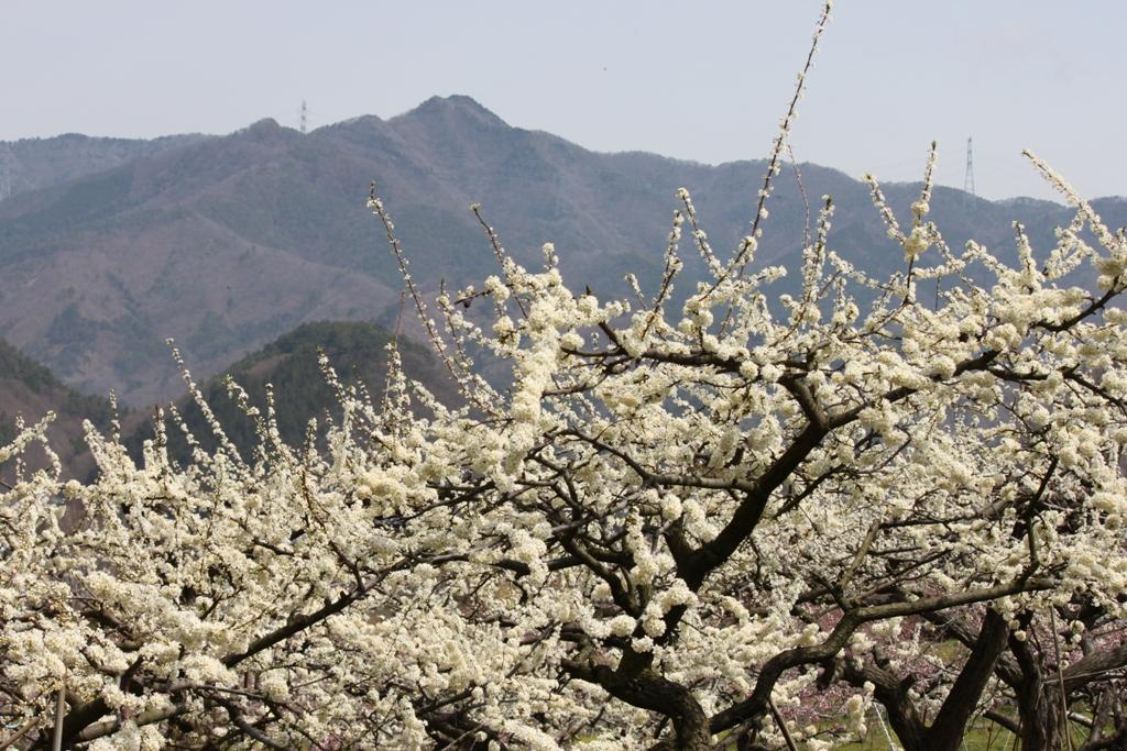 Sakura tour in Yamanashi (6)