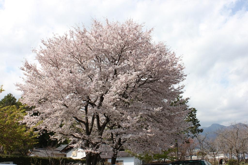 Sakura tour in Yamanashi (11)