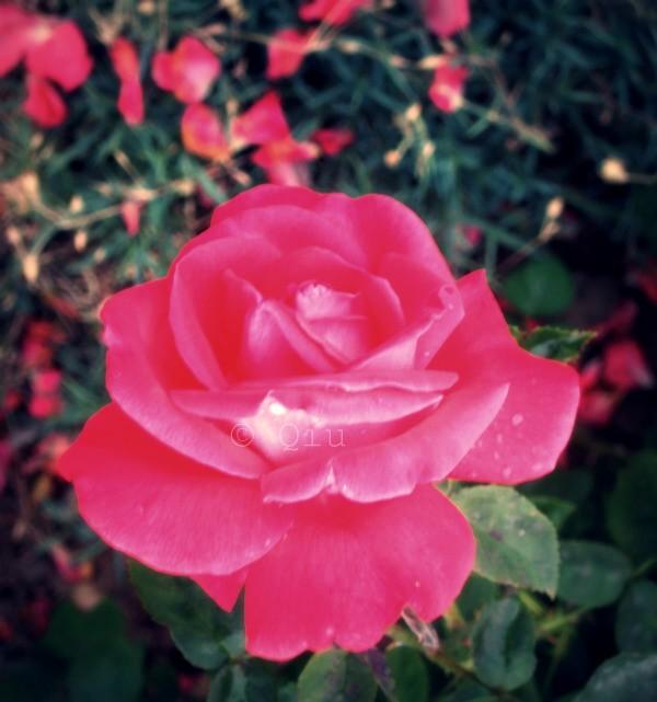 La Rose d'Auché_c