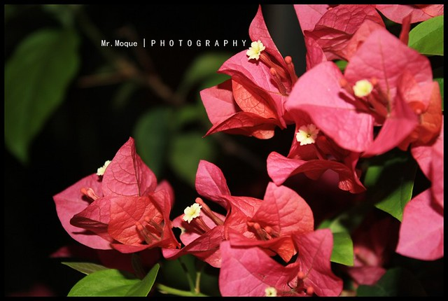 Red Bougainvillea.