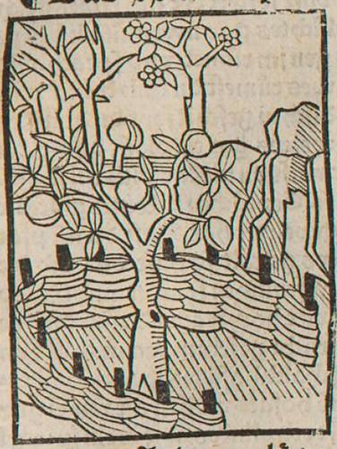 0223 De spina et ficu