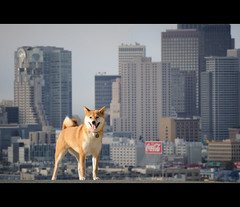 Sky High - 37/52 (kaoni701) Tags: sf sanfrancisco city light portrait urban dog building skyline skyscraper project puppy japanese nikon downtown potrero shibainu financial 70300 shibaken  d300s 52weeksfordogs kaoni701 jonathanfleming