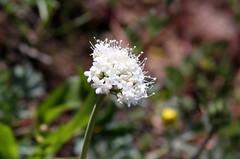 Western Bistort (Polygonum bistortoides), flower head (Arboreal Boids) Tags: flowers oregon wildflower harneycounty polygonumbistortoides westernbistort americanbistort steensmountains smokeweed mountainmeadowknotweed