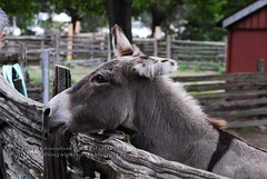 Donkey, or Ass?