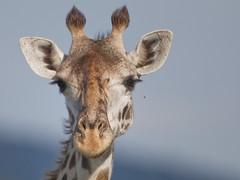 The giraffe and the fly! (Tarique Sani) Tags: tanzania mammal mara