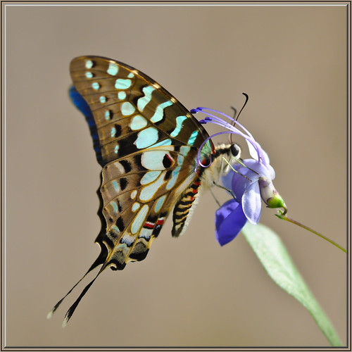 Swallowtail Blues