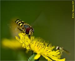20090620_8457 (Lino Sgaravizzi ) Tags: macro natura giallo d200 insetti valtiberina abigfave mygearandmepremium mygearandmebronze mygearandmesilver mygearandmegold dblringexcellence