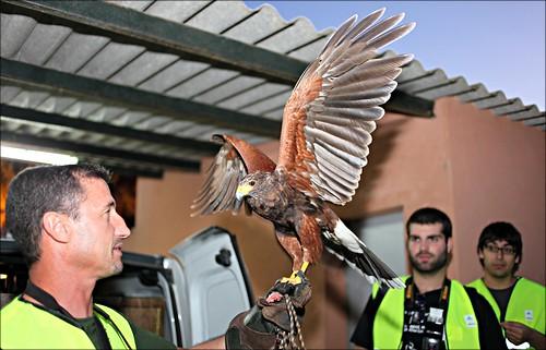Falco Peregrini