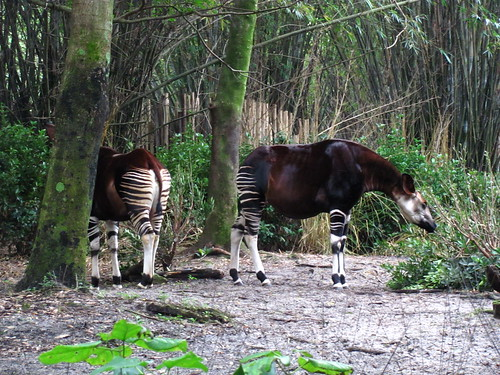 Okapi on the Pangani Forest Exploration Trail