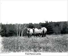 Lambs in Dublin New Hampshire (Keene and Cheshire County (NH) Historical Photos) Tags: sheep farm lambs dublinnh dublinnewhampshire fredpierce maryerobbe