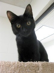 Zorro, Black Kitten in the Puppy Room (Pixel Packing Mama) Tags: bcb catsinbaskets furryfridaypool blackcatspool dorothydelinaporter montanathecat~fanclub spcacatspool cutekittenspool ceruleanthecat~fanclub cutecatsandcuddlykittenspool blackcatskittensset blackanimalspool furrycatfriendspool pixuploadedsecondhalfof2010set pixtakeninsecondhalfof2010set pixelpackingmama~prayforkyronhorman picturestakenwithcanonpowershota2000isora720isin2010set picturestakenwithcanonpowershota2000isora720isin2010 oversixmillionaggregateviews over430000photostreamviews