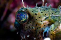 Iridescent Eye (Mark Lightfoot) Tags: eye puffer pufferfish balloonfish caymanbrac