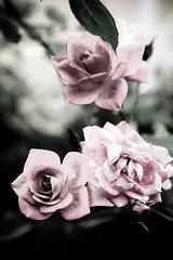 Depressing Blooming (Andrew Zhang) Tags: pink flowers red color green home dead mood venus sad little emo editing processed depressing blooming losangelesca vintagelook tamron2875mmf28 deathly arcadiaca nikond40 templecityca