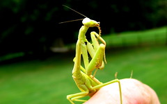 Bathing Beauty (OakleyOriginals) Tags: macro green face insect eyes bath hand legs cleaning bathing prayingmantis antennae pupils segmented mandibles