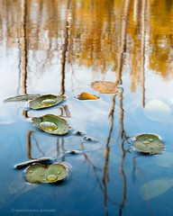 pond reflections (marianna armata) Tags: blue autumn trees sky canada green water pool leaves rain yellow reflections gold mirror pond quebec branches convex surface droplet translucent ripples marianna raised meniscus armata menuscuses menisci