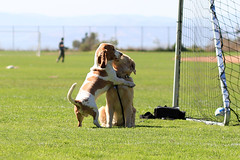 Big Hug! (VeryViVi) Tags: dogs goldenretriever hugging hug 85mm explore cooper 7d bassethound explored canoneos7d missvivigold veryvivi