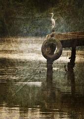 Gara (Roberto de Andrade) Tags: water animal gua textures santos egret texturas gara horon portodesantos santosport