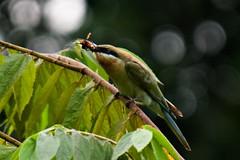 Bee Eater eating a wasp (QooL / بنت شمس الدين) Tags: birds feeding insects kualalumpur qool beeeaters qoolens